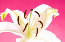 Free Easter Lily Stock Photos - 18289663