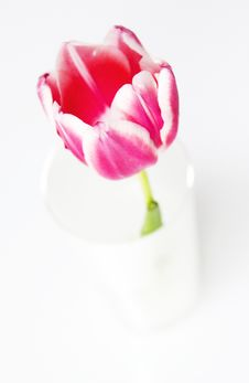 Free Pink Tulip Royalty Free Stock Photo - 18289715