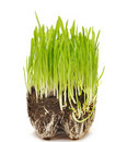 Free Green Grass Growing From The Roots In The Ground Royalty Free Stock Photos - 18290438