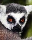 Free Ring-Tailed Lemur Royalty Free Stock Photos - 18291208