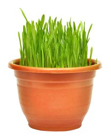 Free Green Grass In A Pot Royalty Free Stock Images - 18290179