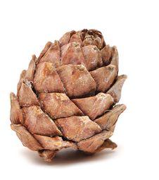 Free Single Cedar Cone Stock Photos - 18290193