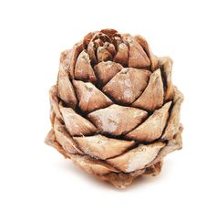 Single Cedar Cone Stock Photos