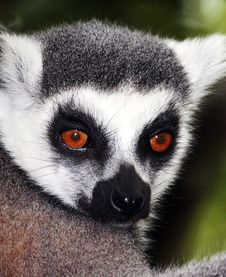 Free Ring-Tailed Lemur Royalty Free Stock Photos - 18291208