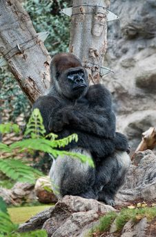 Free Gorilla Royalty Free Stock Photography - 18291537