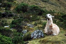 Free Llama Looking Up Stock Photo - 18292470