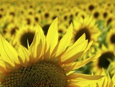 Free Blooming Sunflower Royalty Free Stock Images - 18294579