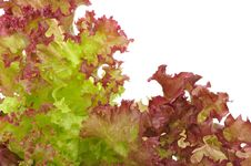 Free Bunch Of Fresh Lettuce Stock Photos - 18294953