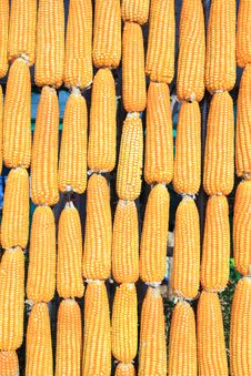 Free Vertical Raw Of Corn Royalty Free Stock Photography - 18294977