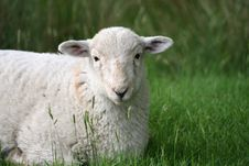 Free Lamb In Snowdonia National Park Royalty Free Stock Photography - 18295137