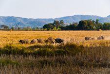 Caravan Of Buffaloes Royalty Free Stock Photos