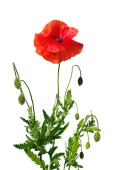 Free Poppies On White Stock Photography - 18297302