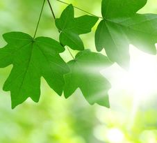 Free Green Leaves Royalty Free Stock Images - 18297429