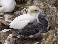 Free Gannet At Troup Head Stock Image - 18297691