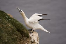Gannet At Troup Head Stock Photos