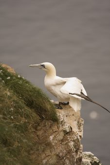 Free Gannet At Troup Head Stock Photo - 18297760