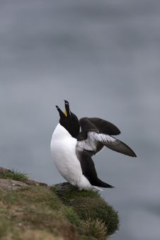 Free Razorbill At Fowlsheugh Stock Photography - 18297792
