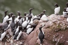 Free Guillemot At Fowlsheugh Royalty Free Stock Photography - 18297807