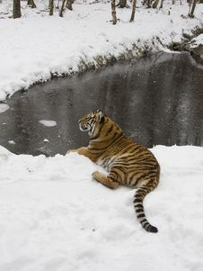 Free Siberian Tiger In The Snow Royalty Free Stock Image - 18297836