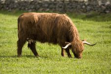 Free Highland Cows Stock Image - 18297901