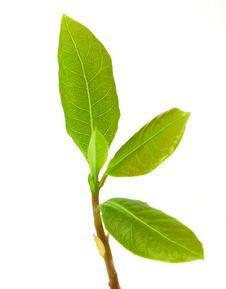 Free Laurel Leaf Stock Photo - 18298890