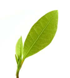 Free Laurel Leaf Stock Photo - 18298900
