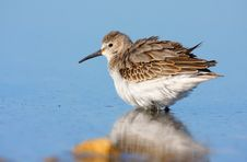 Free Dunlin (calidris Alpina) Royalty Free Stock Image - 18299416