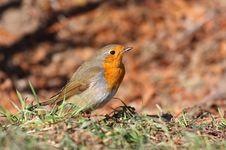 Free European Robin Stock Photo - 18299550