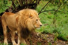 Free The King Of The Jungle Stock Image - 18299651