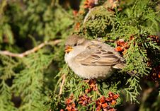 Free House Sparrow Stock Photography - 18299822