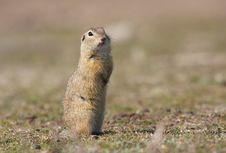 Free European Ground Squirrel Royalty Free Stock Photography - 18299987