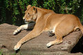 Free Lion Stock Photography - 1838402