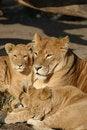 Free Lion Family Stock Photos - 1838423