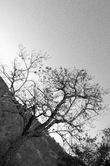 Free Small Black And White Tree Royalty Free Stock Photography - 1830387