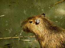 Free Capybara Stock Photo - 1830990