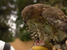 Free Cooper Hawk Eating Royalty Free Stock Photos - 1831558