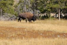 Free Buffalo Grazing Royalty Free Stock Image - 1831606