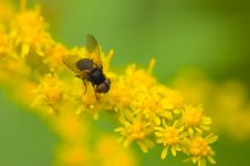 Free Black Fly On Yellow Flowers Stock Photo - 1834940