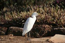 Free White Heron Stock Images - 1835104