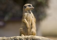 Free Meerkat 1 Stock Photos - 1835483