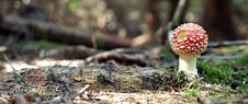 Free Fly-agaric Royalty Free Stock Image - 1836616