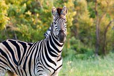 Free Zebra Royalty Free Stock Photo - 1837255