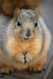 Free Cute Squirrel Closeup Stock Photo - 1839200