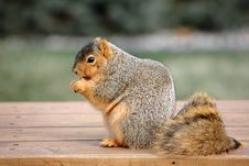 Free Chubby Squirrel Royalty Free Stock Image - 1839206