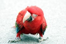 Free Red Parrot Royalty Free Stock Images - 1839299