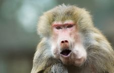 Free Monkey Eating Royalty Free Stock Photos - 1839658