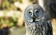 Free Owl Portrait Royalty Free Stock Image - 1839686