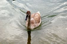 Free Dangerous Swan Stock Image - 1839711