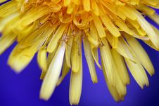 Free Dandelion Stock Images - 18300074