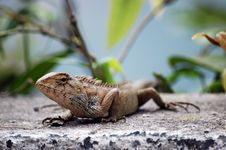 Free Portrait Of Lizard Stock Images - 18300424